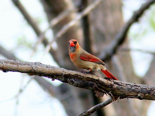 Female Cardinal 20090427