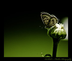 Before Bloom (Karthick Makka) Tags: india flower green butterfly photo flickr pentax april tamilnadu abuse karthi karthick justpentax yercad karthickphotos karthickphoto karthiphoto karthiphotos