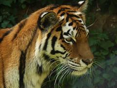 Dio ha creato il gatto perch l'uomo avesse la possiblit di accarezzare una tigre (Bcaus.Chang.Happns) Tags: zoo tiger tigre anversa flickrbigcats