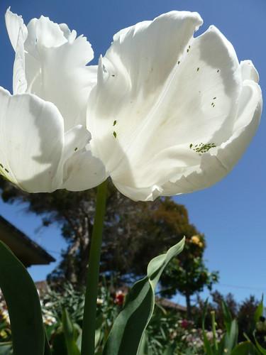 parrot white tulip