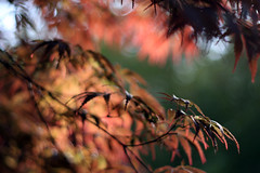 Impressions... (Charmed Hour) Tags: red orange colors painting maple bokeh dusk vibrant massachusetts flame brilliant