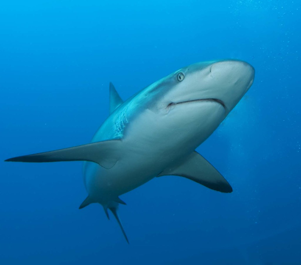 caribbean reef shark 3