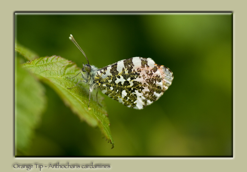 Orange Tip - Anthocharis cardomines