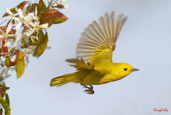 Yellow Warbler In Spring (tinyfishy) Tags: ontario canada bird yellow flying inflight warbler naturesfinest specanimal 2ndmarsh