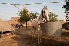 Tub full of Goodies (gurbir singh brar) Tags: horse punjab singh brar gurbir gurbirsinghbrar sursingh bidhichand
