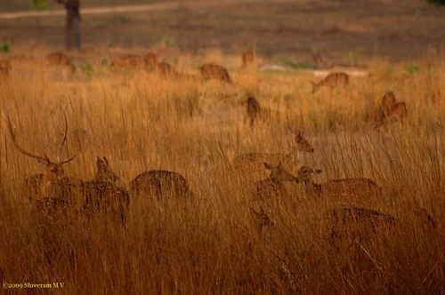 Kanha - Golden glow