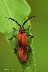 2.13 Long-nosed Lycid Beetle ... stack