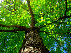 The Mighty Tree (cappyw) Tags: tree nature leaves pa bark trunk tall mighty