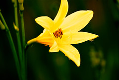 (Johan Gustavsson) Tags: water drops vatten lilja regndroppe droppar 55200mm nikoncapturenx nikond80