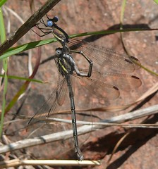 Great Spreadwing (Archilestes grandis) (Victor W. Fazio III) Tags: mountains oklahoma nature insect damselfly odonata fortsill archilestesgrandis greatspreadwing comanchecounty wichitamtns intandem