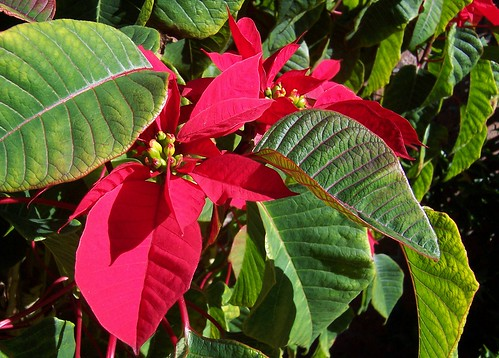 Poinsettias in the warm winter sun, June 2009