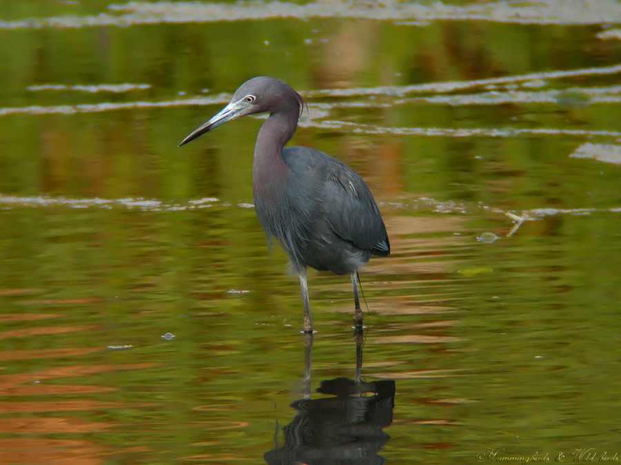 little-blue-heron-d