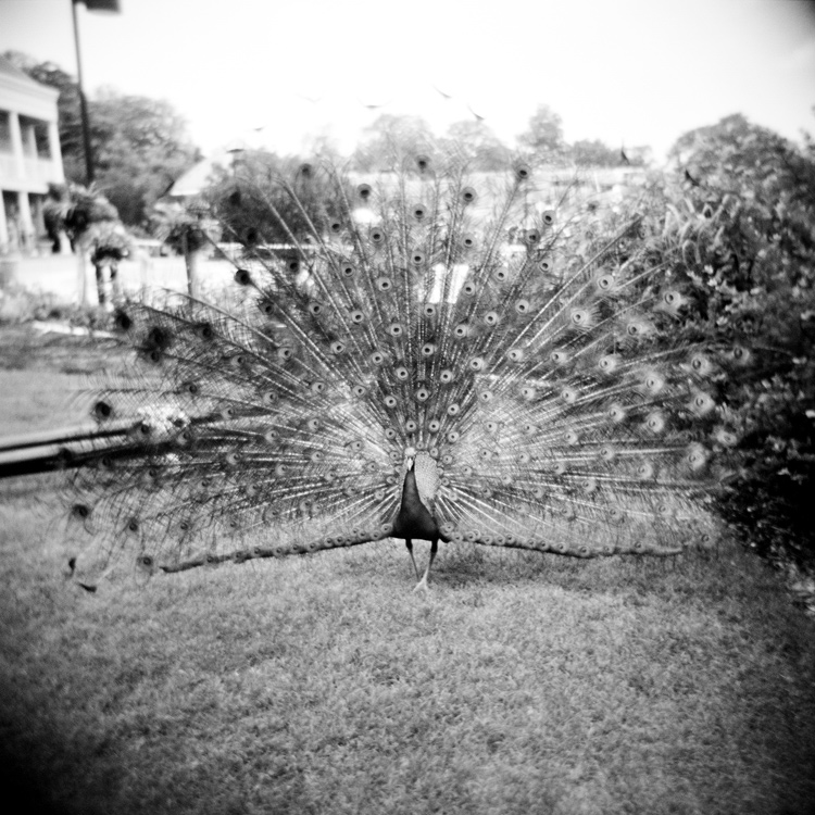 Image of Peacock!