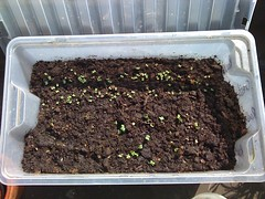 Germinating radishes and rocket and cress.