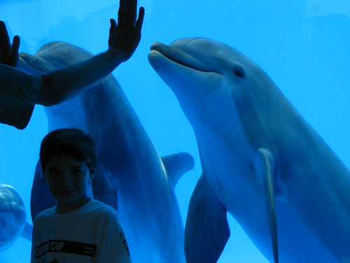 A dophin trainer and audience helper instruct the dolphins from the underwater window at Discovery Kingdom. Photocredit: ME