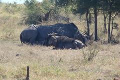 Kruger Park. South Africa. May/2009 (EBoechat) Tags: parque elephant bird animals southafrica monkey buffalo with lion safari rhino zebra crocodile macaco giraffe hippo impala animais bufalo passaro leo girafa krugerpark kruger elefante rinoceronte africadosul hipopotamo crocodilo 200905 nely