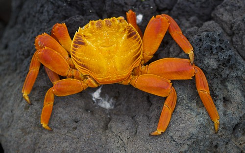Sally Lightfoot (Grapsus grapsus) Molt