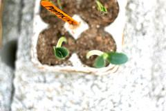Open Wide (epoch.journey) Tags: gardening pumpkins soil seedlings eggcarton urbanfarm backyardfarm
