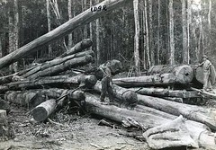 Logging in Dorrigo (NSW State Archives and Records) Tags: people blackandwhite workers logging archives newsouthwales ohs dorrigo midnorthcoast staterecordsnsw
