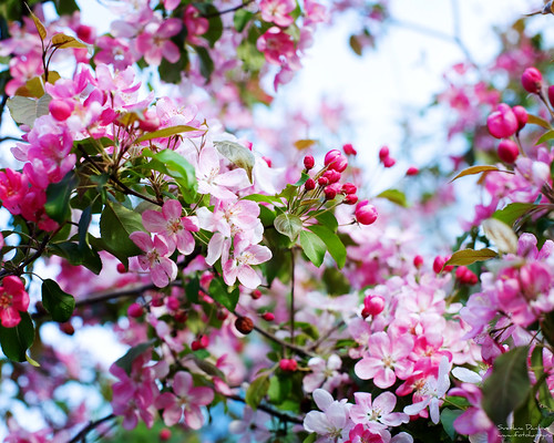 apple-blossom_2