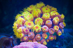 Sun Polyps (Tube Coral, Orange)