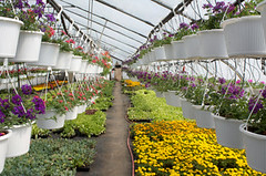 Commercial Greenhouse Plants