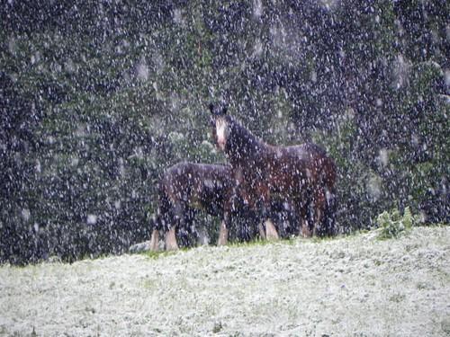 Chevaux sous la neige le 1er juin 2011