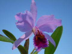 Cattleya percivaliana (dwittkower) Tags: orchid flower flora orchids orchidaceae cattleya species orquideas orchidée orqudea
