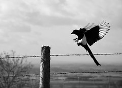 Incoming! (Bob Small photography.) Tags: uk wild england bw white black blur bird nature monochrome fence mono nikon post feeding action britain wildlife somerset pica magpie swoop naturesfinest d40 picapice