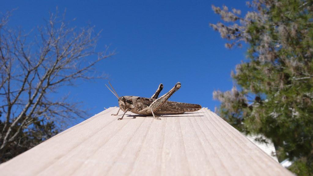 Grasshopper on a 2x4...