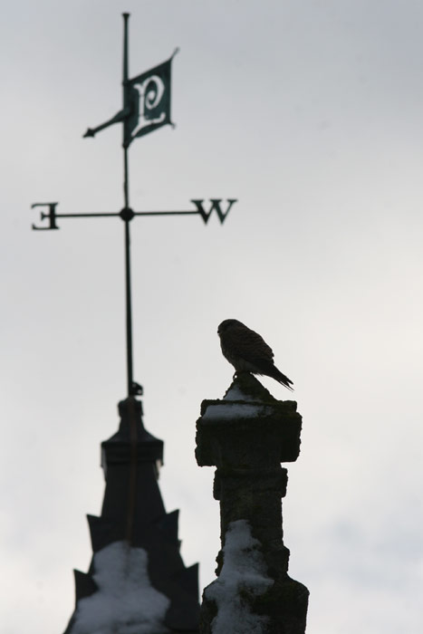 Kestrel on stable block roof