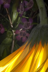 Droopy (shottwokill) Tags: flowers color macro nature yellow nikon cls sigma105 d80 platinumphoto