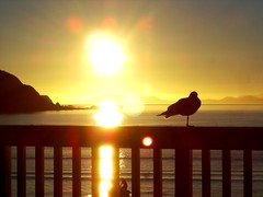 Sunset seagulls (W J (Bill) Harrison) Tags: ocean sunset sea sky sun nature water sunshine weather sunrise golden coast sand seagull wellington skytheme