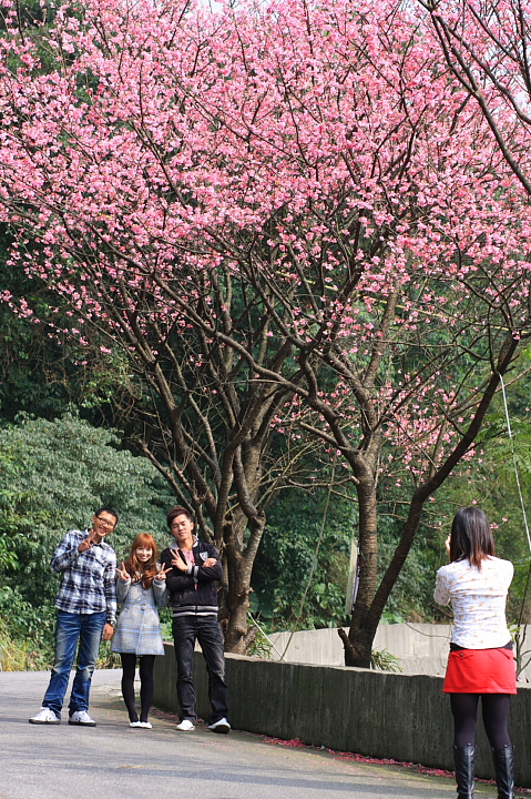 三芝櫻花35