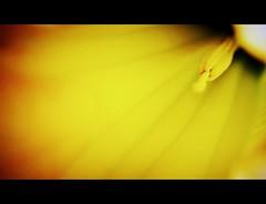 Escondido (jeru_) Tags: corua flor campana amarillo naranja mera jeru flowerotica pordentro flickrflorescloseupmacros
