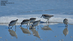 Sanderling (Calidris alba) winter (Carolinensis) Tags: birds searchthebest aves sandpipers birdwatcher sanderling shorebirds calidrisalba blueribbonwinner nikkor80400mmvr allrightsreserved birdphotos nikond80 goldstaraward southcarolinabirds abovealltherest thewonderfulworldofbirds dragondaggerphoto dragondaggeraward