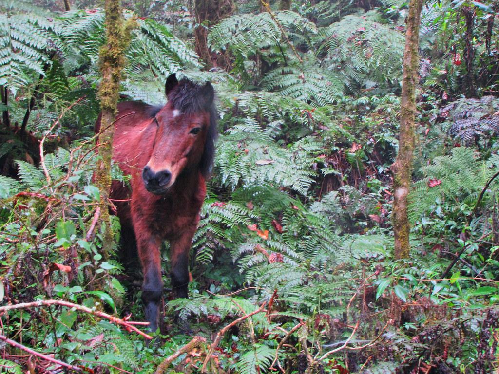 Horse in Woods-Dzongri Trek-Sikkim India