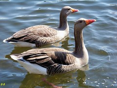 A pair of Grey lag geese. (Church Mouse 07) Tags: park uk lake water geese spring feeding kodak april easyshare greylag z8612is