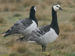 Barnacle Goose, Snettisham (Norfolk), 17-Mar-09
