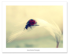 My Ladybug !! (Anuma S. Bhattarai) Tags: nepal nature lady bug garden march asia feathers feather bugs ladybug kathmandu ladybugs nepali sharma aplusphoto anuma anumasharma 72lumixpanasonicdmcls70