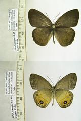 Splendeuptychia boliviensis