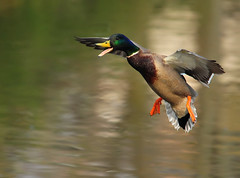 Happy Duck Landing (ozoni11) Tags: bird nature birds animal animals duck interestingness nikon ducks maryland explore wetlands mallard drake waterfowl drakes wetland mallards 270 columbiamaryland d300 wildelake interestingness270 i500 michaeloberman explore270 ozoni11