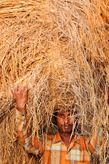 Straw, Sunderbans National Park India (Laura Dunn-Mark) Tags: life travel india man face grass yellow rural forest river town village farmers straw delta mangrove hauling remote local farmer hay bundle heavy bale 2008 kolkata calcutta carrying settlement sunderban ganges sunderbans westbengal lauradunnmark sunderbantigercamp sunderbansnationalpark
