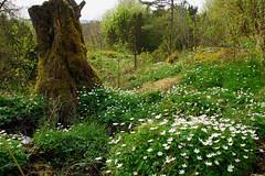 Anemone nemerosa and tree stubb