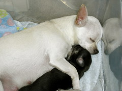 ZuZu loves to hug her pups! (cerberus_arstd) Tags: dog chihuahua cute dogs puppy puppies chica chihuahuas zuzu cujo