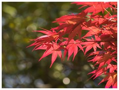 Red Leaves 20090517 #04