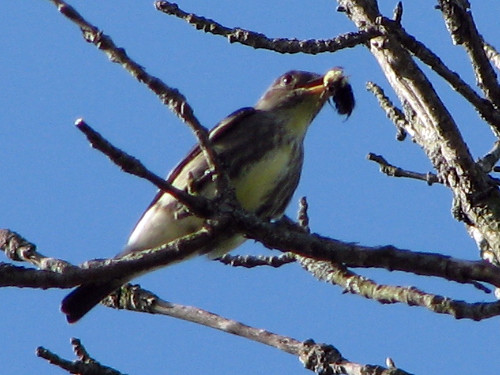 Olive-sided Flycatcher w/ bug