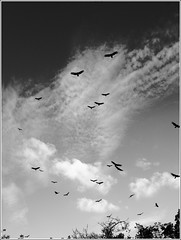 Waiting... (Bird__Nerd) Tags: sky white black clouds turkey ominous flock kettle vultures vulture
