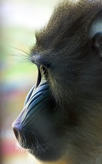 my monkey I (jmauerer) Tags: portrait nature animal closeup monkey nikon wildlife natur mandrill tier affe d300 mauerer jmauerer updatecollection