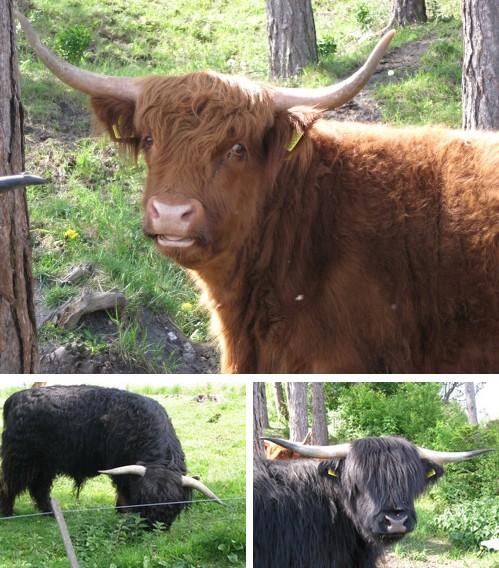 Skotsk højlandskvæg